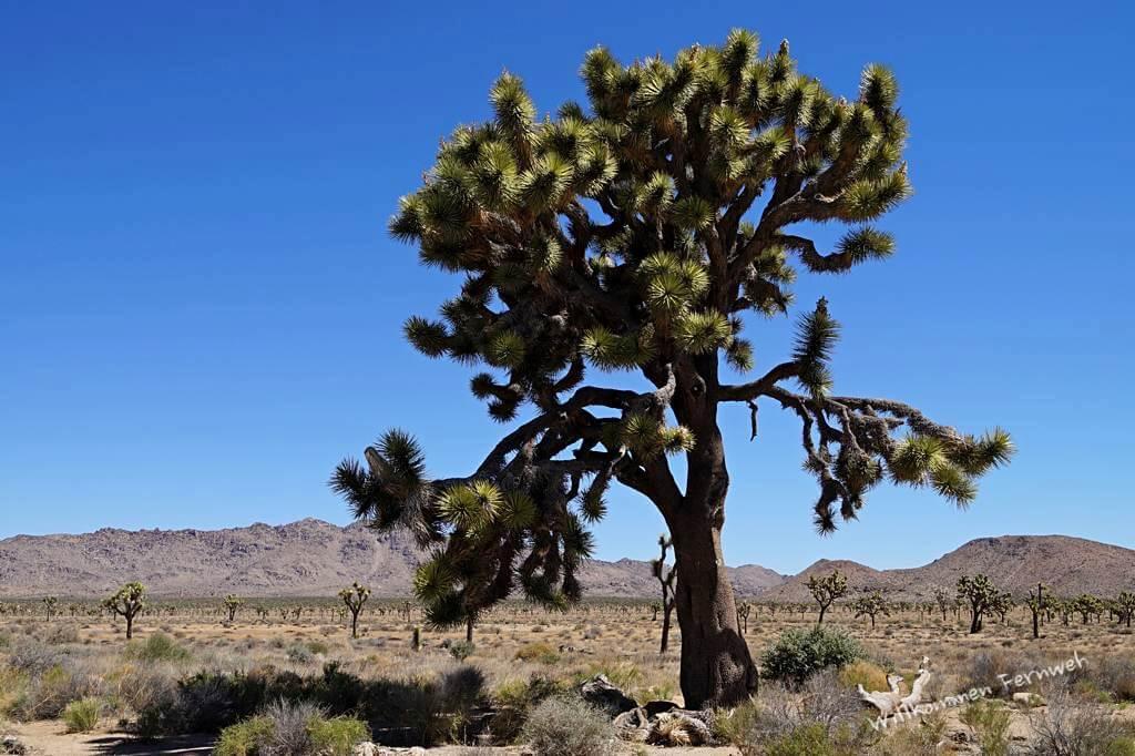 Ein besonders schöner und großer Joshua Tree im gleichnamigen National Park