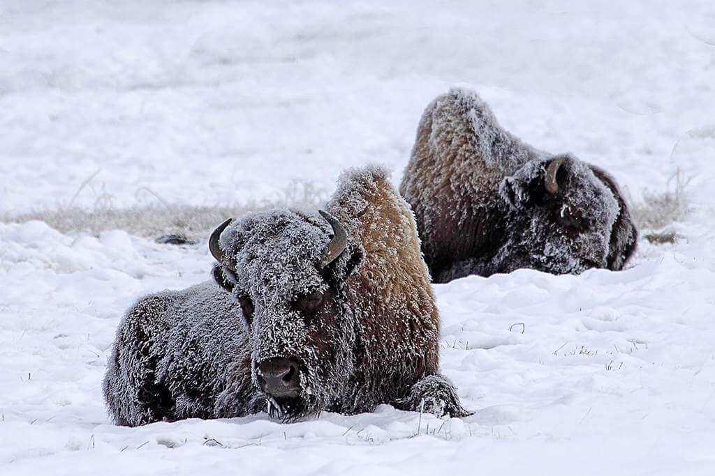 Die Bisons brauchen ein dickes Fell...