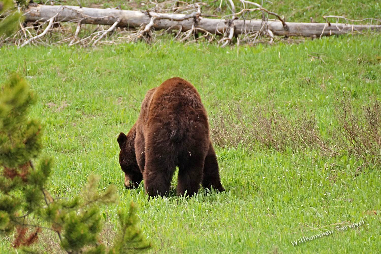 Ein flauschiger zimtfarbener Schwarzbär im Yellowstone Nationalpark