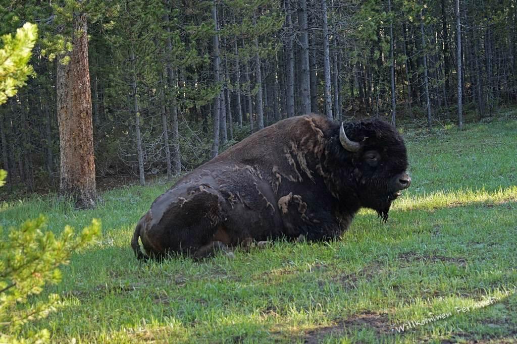 Kurze Schrecksekunde beim morgendlichen Aussteigen aus dem Wohnmobil: Ein Bisonbulle nur wenige Meter entfernt.