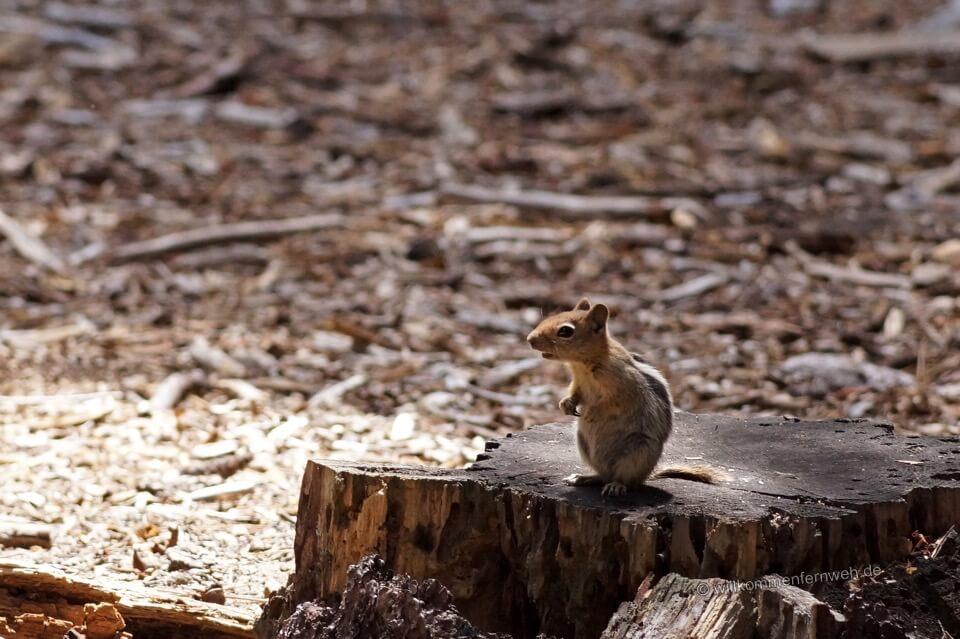 Chipmunk, Streifenhörnchen