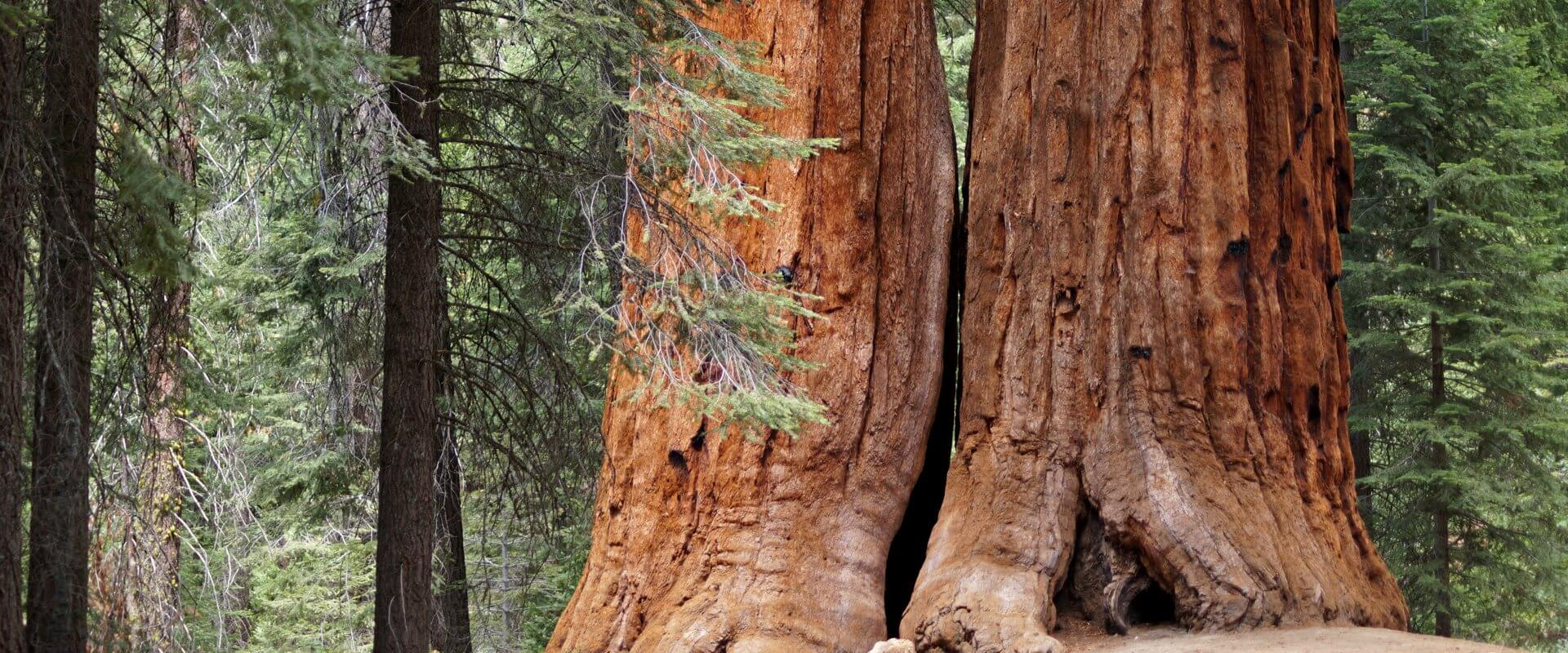 Trail of 100 Giants, Giant Sequoia National Monument, USA