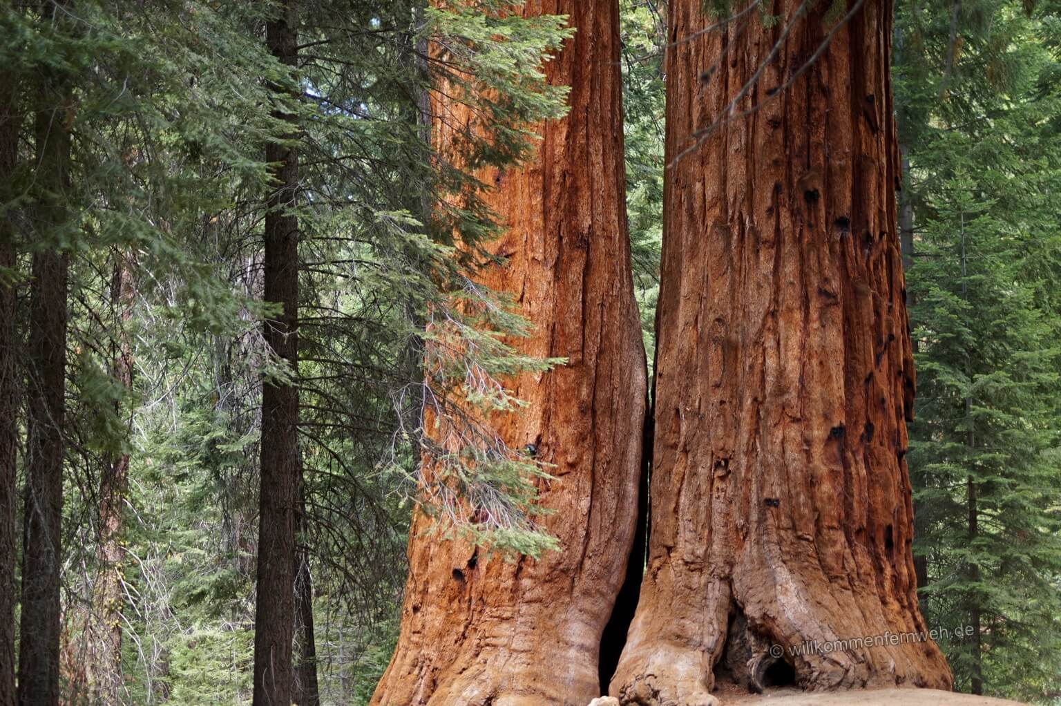 Sequoia-Paar am Trail of 100 Giants