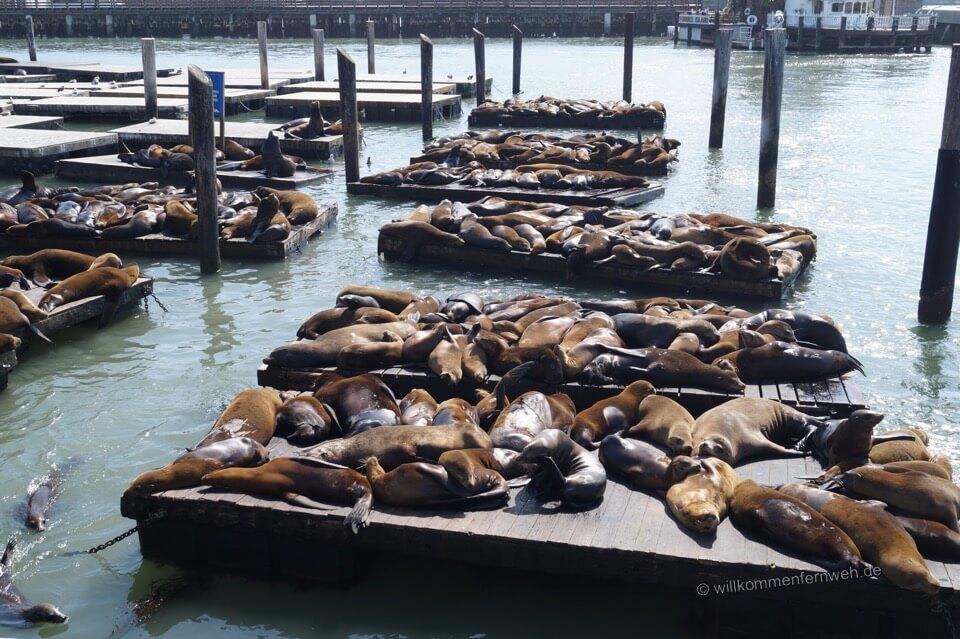 Foto Seehunde Pier 39 San Francisco