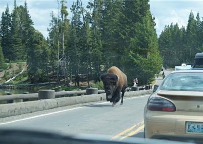 Auch ein Bison kann eine Brücke zu schätzen lernen...