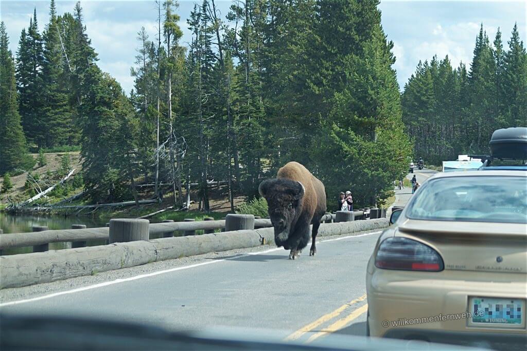 Bison auf Brücke, Yellowstone National Park