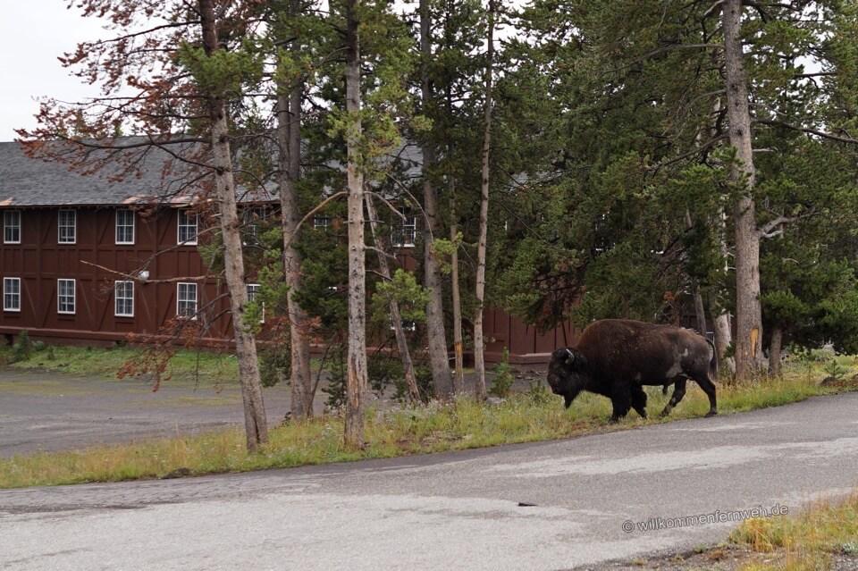 Bison vor den Cabins