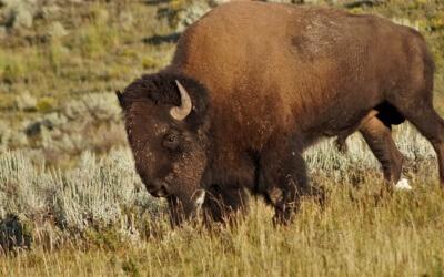 Bisons, Wölfe, Wapitis – Tipps für Tierbeobachtungen im Yellowstone