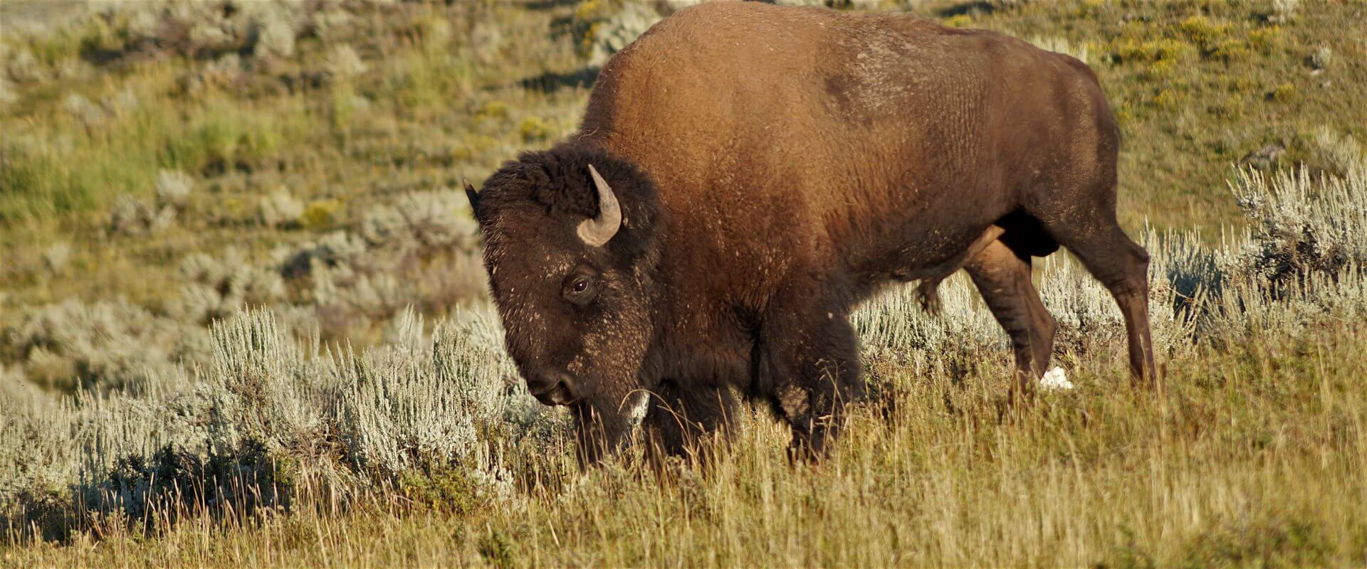 Bisonbulle im Lamar Valley, Yellowstone National Park