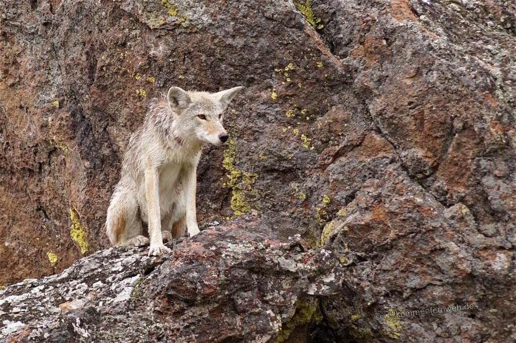 Kojote einige Meter neben der Straße, Yellowstone National Park