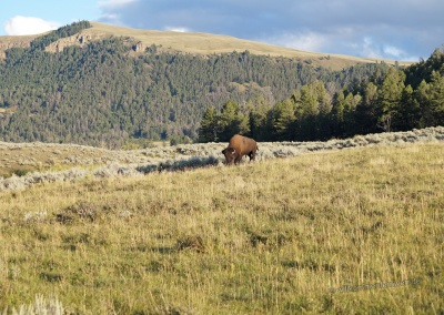 Bison im Lamar Valley
