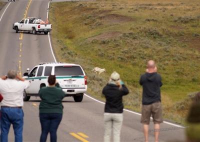Wölfe überqueren die abgesperrte Straße