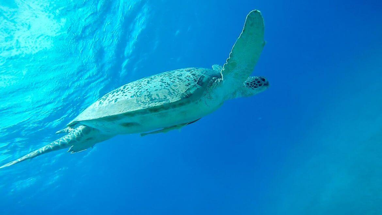 Meeresschildkröte beim Tauchen im Roten Meer bei Marsa Alam (Ägypten) (yummytravel.de)